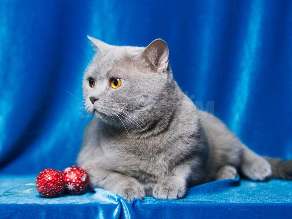 британский прямоухий кот в картинках этом