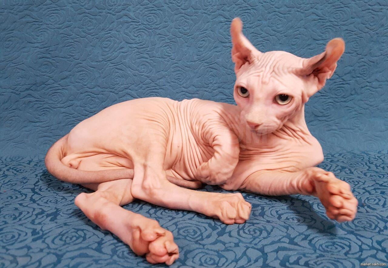 условия содержания кошки породы двэльф