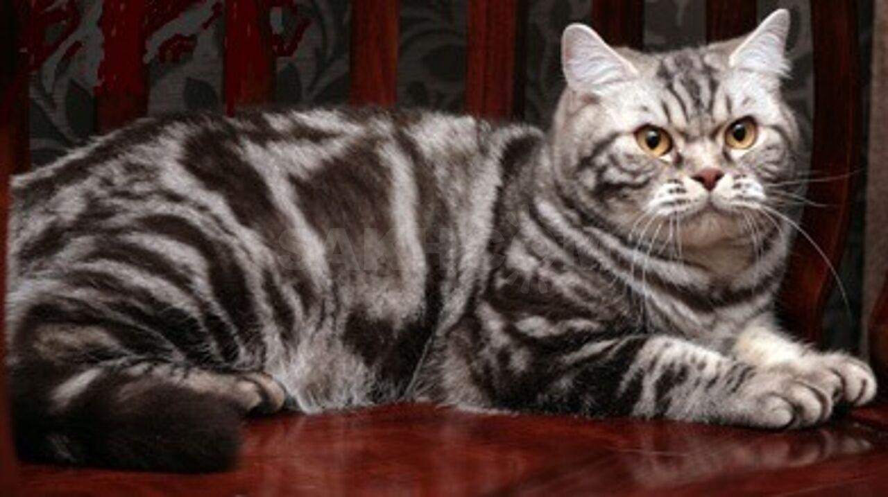 британские коты мрамор на серебре фото должен устанавливаться только