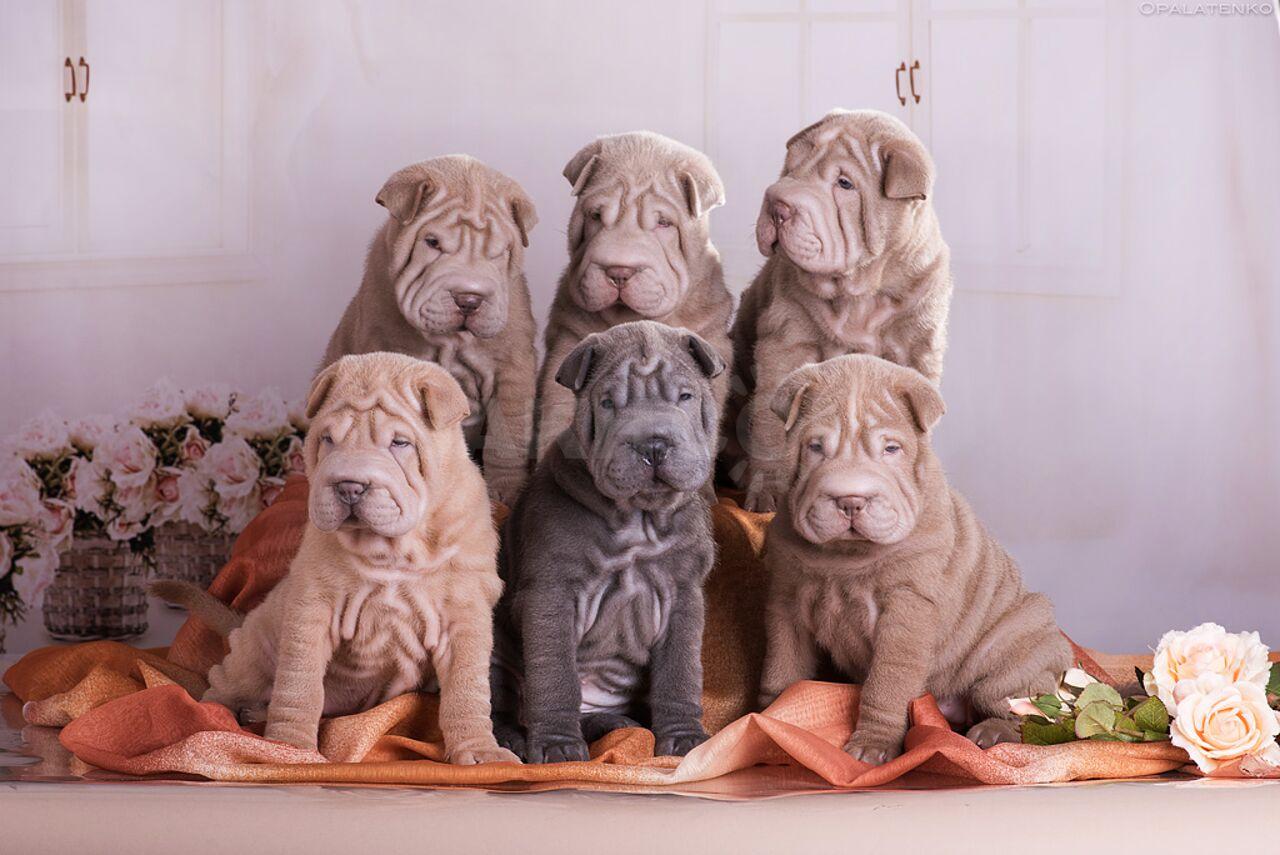 Картинки на рабочий стол шарпеи щенки