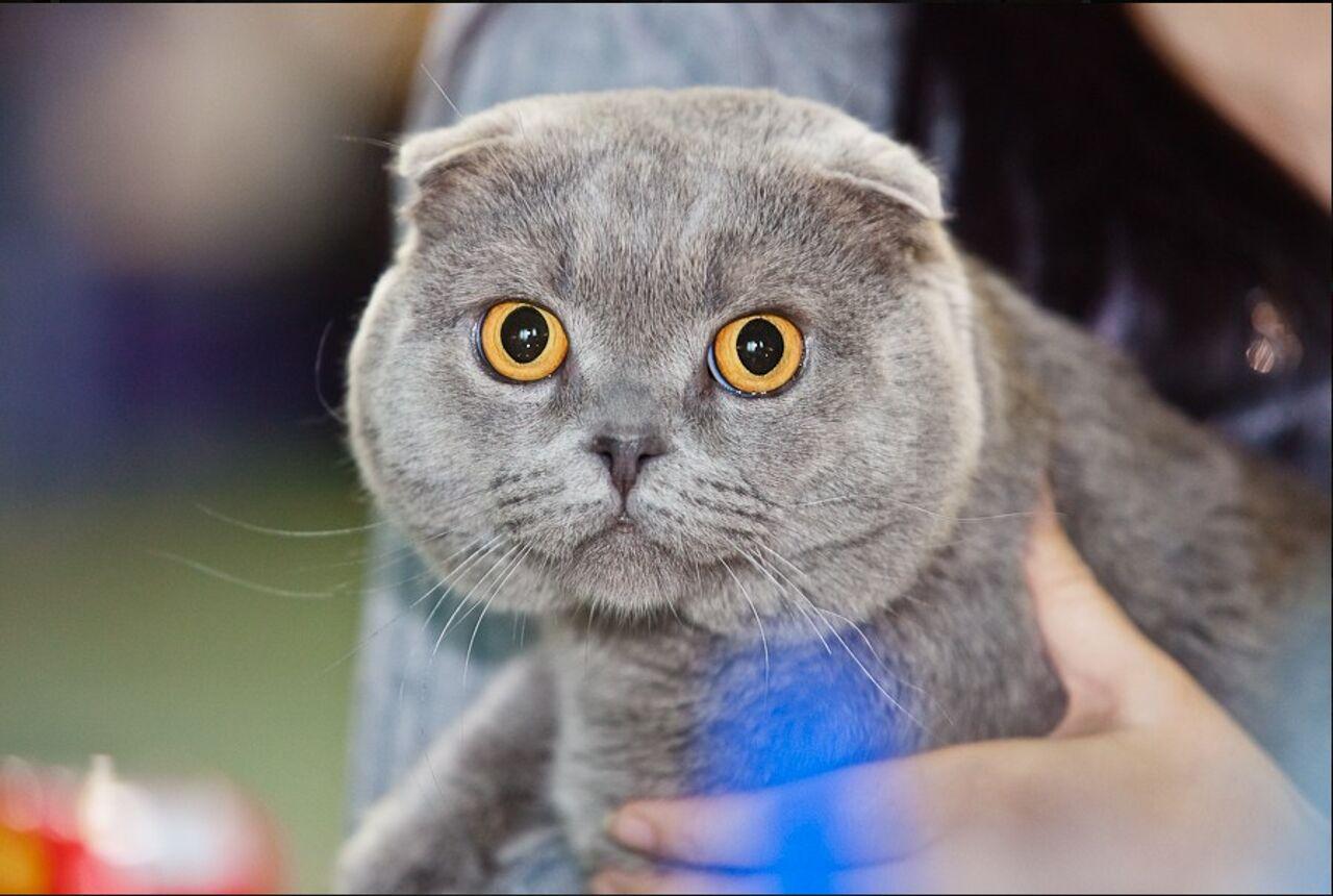Коты шотландцы вислоухие и нет фото