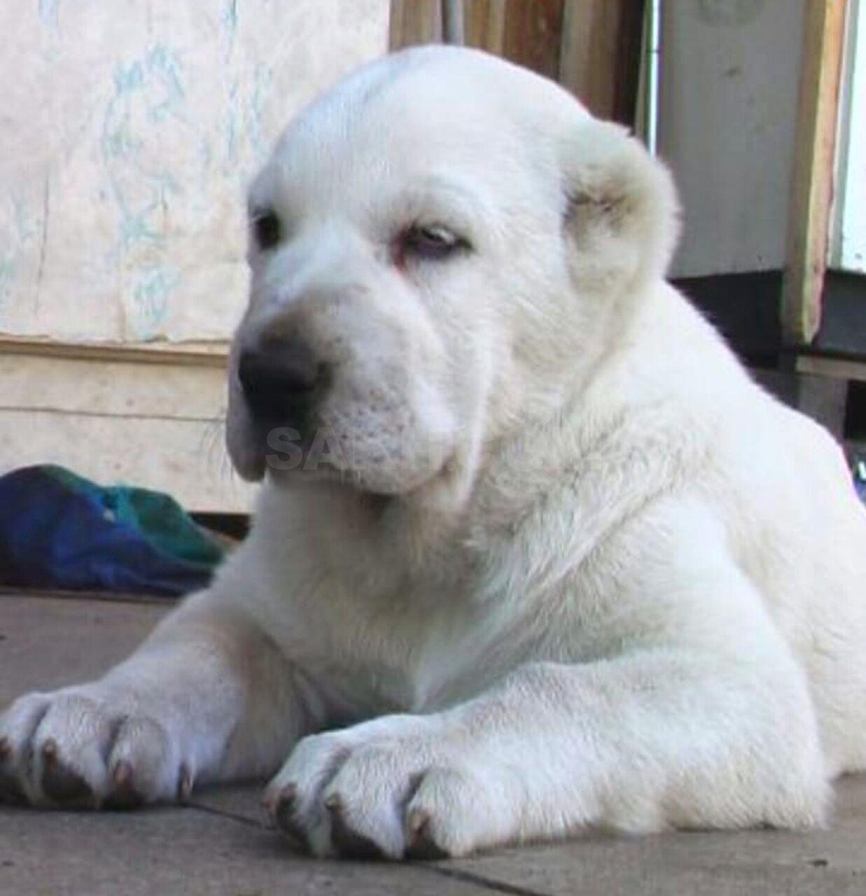 фотки щенка алабая