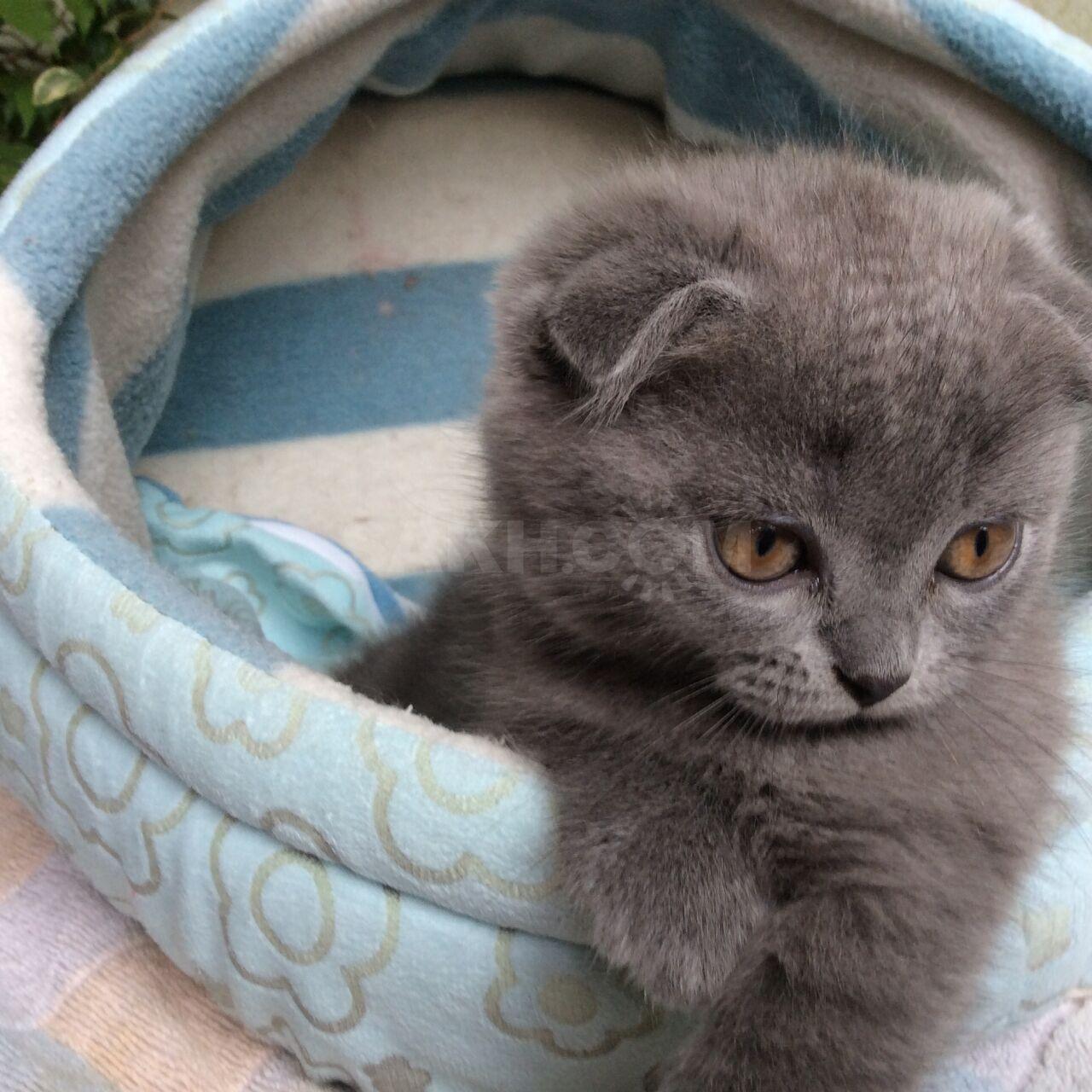 того, снимки чистокровные шотландские вислоухие котята фото при необходимости можем