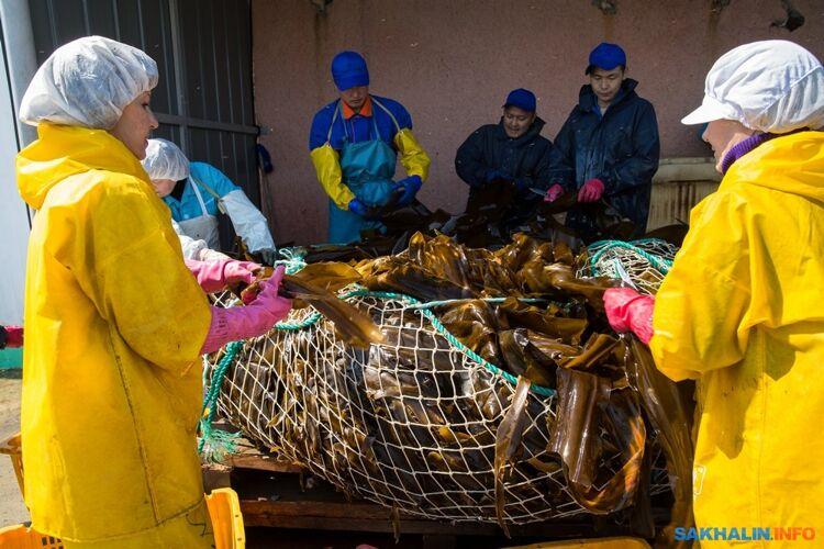 Стройотряд напереработке морской капусты