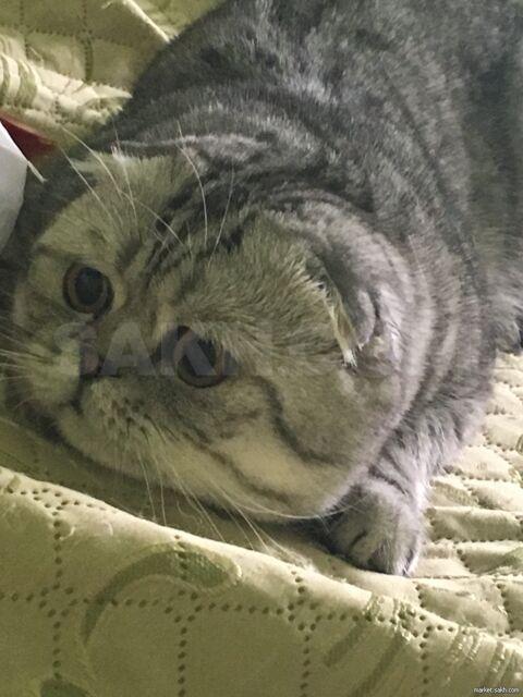 Вязка шотландского вислоухого кота (скоттиш-фолд) - 5000 руб. Животные. Вязка. Кошки. Кошки в Южно-Сахалинске. Объявления Сахалина