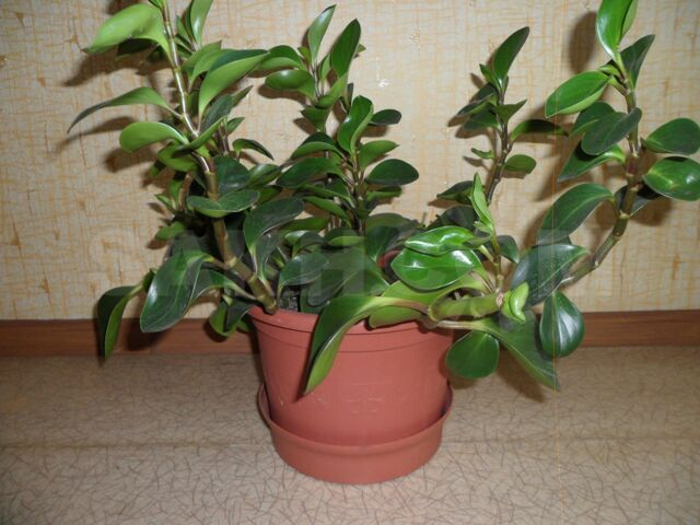 Продам цветок - 350 руб. Домашняя утварь и предметы быта. Растения. Растения в Корсакове. Объявления Сахалина