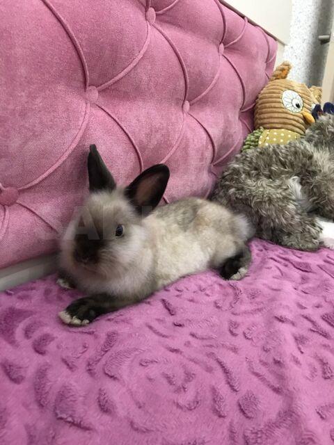 Декоративный кролик - 5000 руб. Животные. Другие животные. Другие животные в Долинске. Объявления Сахалина