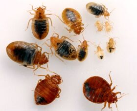 Дезинсекция. Уничтожение клопов, тараканов.